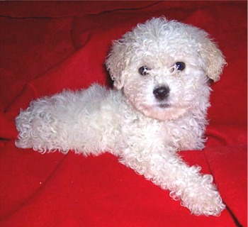 maltipoo - cute and showy